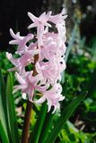Pink Hyacinth, Flowering In The Spring Stock Photo