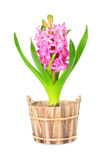 Pink hyacinth Royalty Free Stock Image