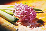 Pink hyacinth flowers Stock Photography