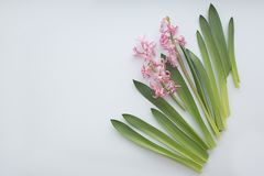 Pink hyacinth flowers with leaves on white background. Flat lay, copy space, top view. Flowers composition stock photography