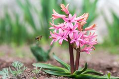 Pink Hyacinth Flowers. Close up. Bee Pollinating a Flower royalty free stock images