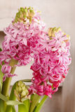 Pink hyacinth flowers Royalty Free Stock Photography