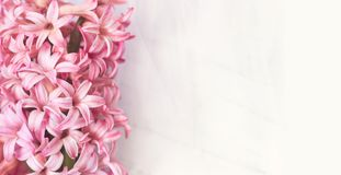 Pink Hyacinth flowers on white background, with copy space for y stock photography