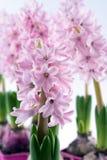 Pink Hyacinth flowers Royalty Free Stock Photo