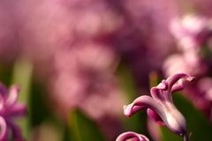 Pink hyacinth fowers Stock Photo