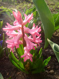Pink hyacinth Stock Images