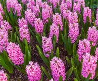 Pink Hyacinth Garden Royalty Free Stock Image