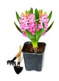 Pink hyacinth Royalty Free Stock Photography