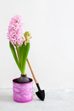 Pink hyacinth and gardening tools on grey concrete background Stock Photography