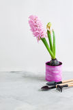 Pink hyacinth and gardening tools on grey concrete background Royalty Free Stock Photography