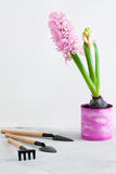 Pink hyacinth and gardening tools on grey concrete background Royalty Free Stock Images