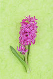 Pink hyacinth on green background Royalty Free Stock Photos