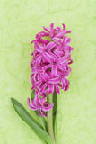 Pink hyacinth on green background Stock Image