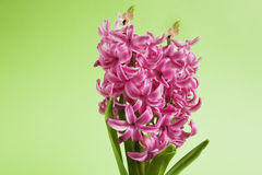 Pink hyacinth on green background Stock Photo