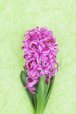 Pink hyacinth on green background Royalty Free Stock Image