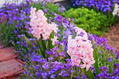 Pink hyacinth (Hyacinthus orientalis) bloomed on a flowerbed in spring Royalty Free Stock Image