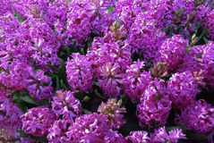 Pink Hyacinth Hyacinthus. stock images