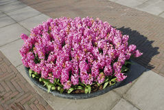 Pink Hyacinth Hyacinthus plants growth in stone flowerpot. Royalty Free Stock Photography