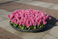 Pink Hyacinth Hyacinthus plants growth in stone flowerpot. Royalty Free Stock Images