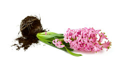 Pink hyacinth isolated on white Royalty Free Stock Photos