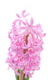 Pink hyacinth isolated on white, selective focus Stock Photos