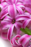 Pink hyacinth (macro). Pink hyacinth (macro, shallow depth of field Royalty Free Stock Photos