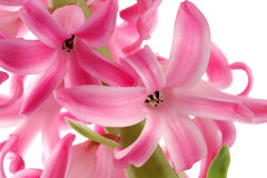 Pink hyacinth macro Stock Photos