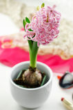 Pink hyacinth Royalty Free Stock Photography