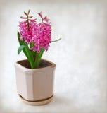 Pink  hyacinth pastel  background Royalty Free Stock Images