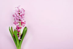 Pink hyacinth on pink background Royalty Free Stock Photos