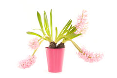 Pink hyacinth in a pot Royalty Free Stock Image