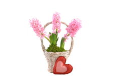 Pink Hyacinth and red heart Royalty Free Stock Images