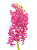 Pink hyacinth with stem Royalty Free Stock Images