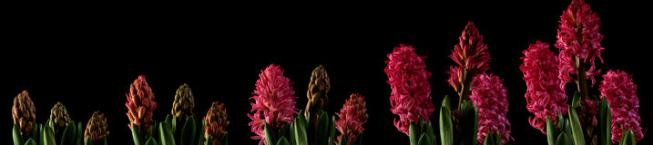 Pink Hyacinth Time Lapse. Series. Studio shot over black Stock Photos