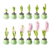 Pink hyacinth timelapse Royalty Free Stock Photos