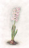 Pink hyacinth watercolor painting Royalty Free Stock Photography