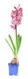 Pink hyacinth on the white background Stock Photos