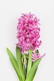 Pink hyacinth on white background Royalty Free Stock Image