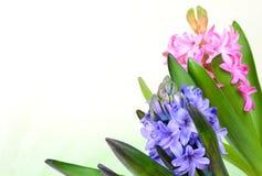 Pink hyacinth Stock Photo