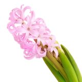 Pink hyacinth on white background Royalty Free Stock Photo