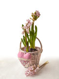 Pink hyacinth in a white basket Royalty Free Stock Images