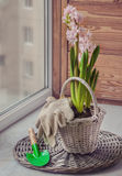 Pink hyacinth in a white basket. Toning Royalty Free Stock Photo