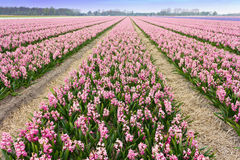 Pink Hyacinthe bulb field Royalty Free Stock Images