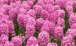 Pink Hyacinths. Field of Pink Hyacinths Stock Photo