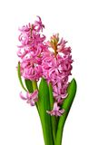 Pink hyacinths. Isolated on white background Stock Photos