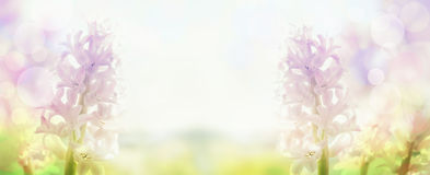Pink hyacinths  in back light , banner for website Stock Photo