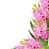Pink hyacinths Royalty Free Stock Image
