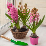 Pink hyacinths in a basket and   shovel Royalty Free Stock Photos