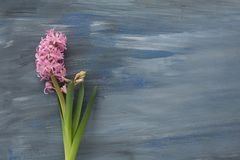 Pink hyacinths on a blue textural background stock photo