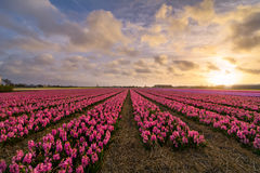 Pink Hyacinths. A field of pink hyacinth flowers in the evening Stock Photography